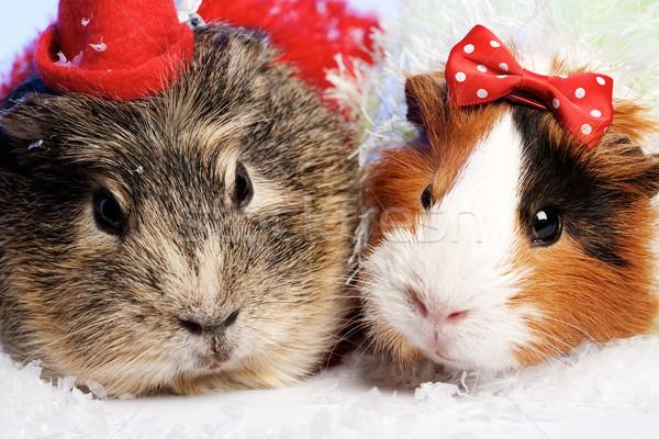 Foto stock: Funny · animales · conejillo · de · indias · Navidad · retrato · familia