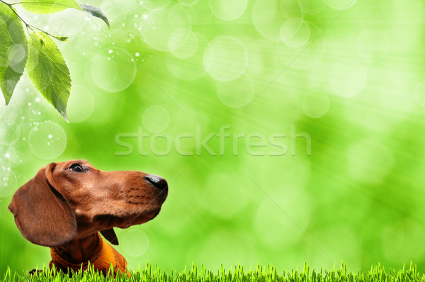 Funny Dog. Abstract spring backgrounds Stock photo © tolokonov