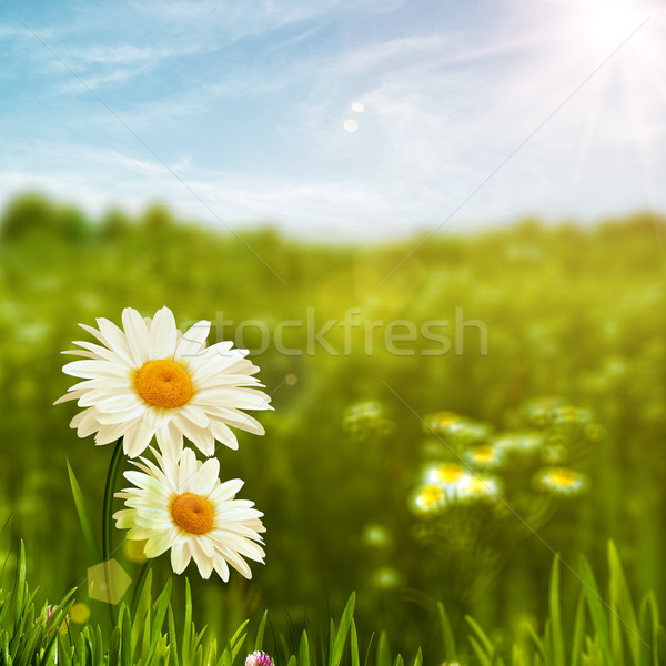 Stock photo: Beauty daisy flowers on the meadow, environmental backgrounds