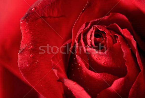 Rosa vermelha pétalas abstrato fundos rosa Foto stock © tolokonov