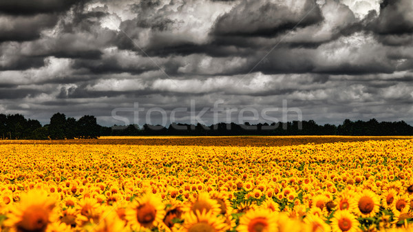 van Gogh Summer. Dramatic evening over sunflowers meadow, natura Stock photo © tolokonov