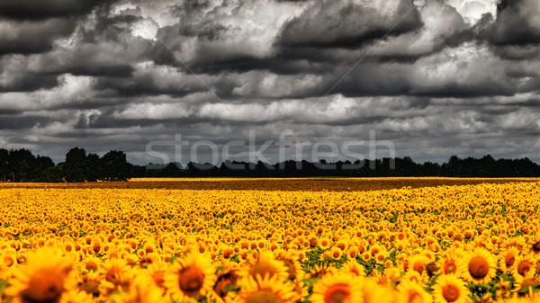 Furgon nyár drámai este napraforgók legelő Stock fotó © tolokonov