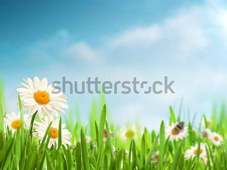 Bright summer afternoon. Natural backgrounds with beauty daisy f Stock photo © tolokonov