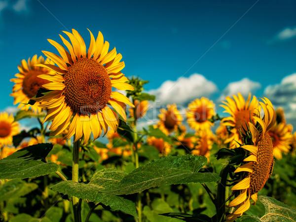 Napraforgók mező arany nyár nap égbolt Stock fotó © tolokonov