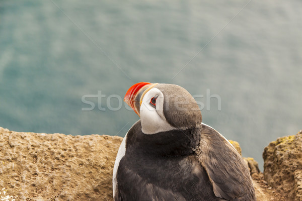 Puffin - Latrabjarg, Iceland. Stock photo © tomasz_parys