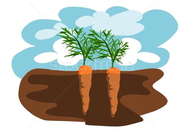Kettő répák föld étel Föld mező Stock fotó © tomasz_parys