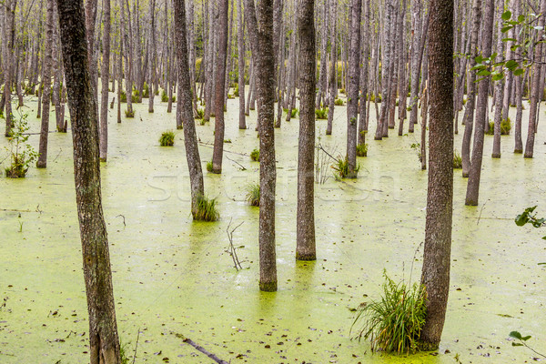 Thick forest in Poland. Stock photo © tomasz_parys