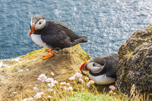 Iceland, Latrabjarg cliffs - wildlife. Stock photo © tomasz_parys
