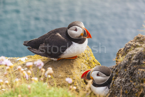 Puffins family - Latrabjarg, Iceland. Stock photo © tomasz_parys