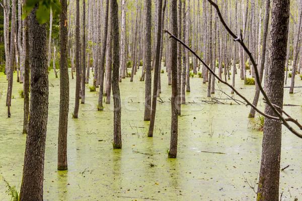 Orman görmek yeşil ıslak bataklık ağaç Stok fotoğraf © tomasz_parys