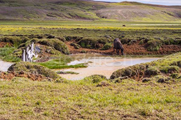 Sauvage cheval Islande vert prairie beauté Photo stock © tomasz_parys