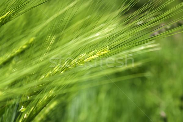 Tahıl bitki arpa yeşil çim Stok fotoğraf © Tomjac1980