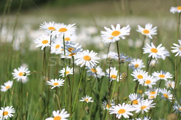 daisy field Stock photo © Tomjac1980