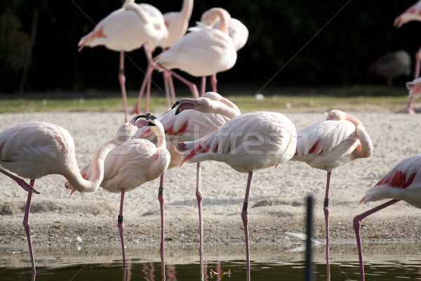 flamingo Stock photo © Tomjac1980
