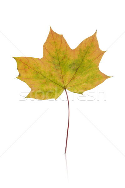 leaf, fall Stock photo © Tomjac1980