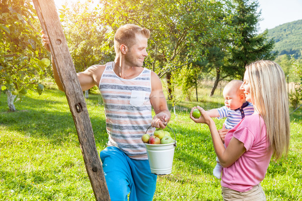 Young family picking apples from an apple tree Stock photo © tommyandone