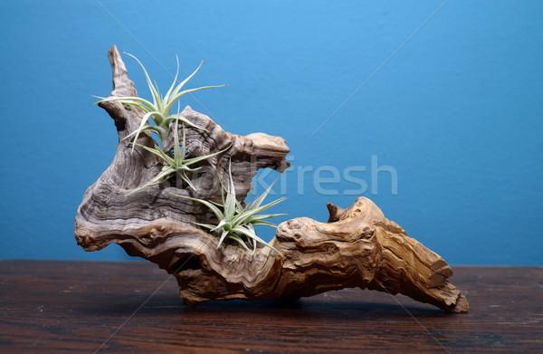 Decorativo naturalismo madeira sempre-viva plantas árvore Foto stock © tony4urban