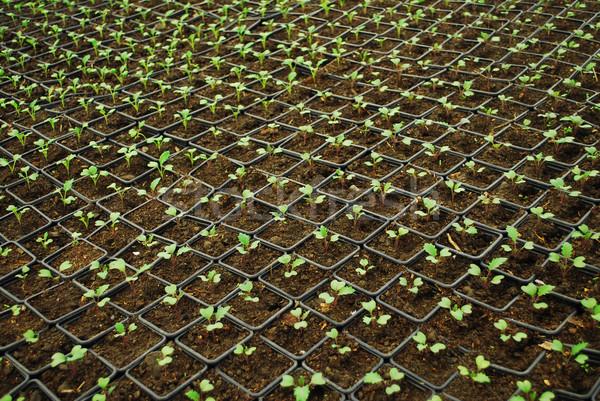 Groeiend weinig planten zaaien zaden Stockfoto © tony4urban