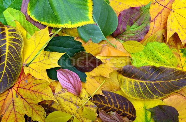 秋 葉 テクスチャ ツリー 葉 ストックフォト © tony4urban