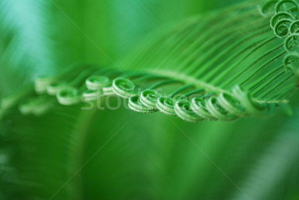 young cycas leaf Stock photo © tony4urban