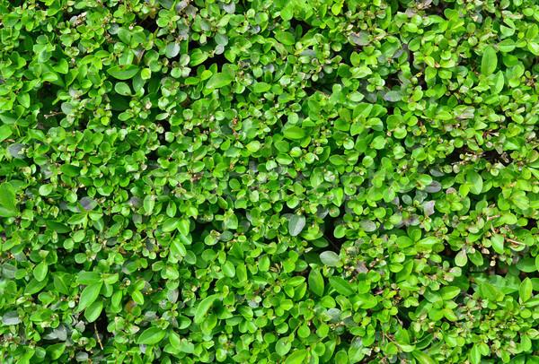 Cerca textura planta verde natureza padrão Foto stock © tony4urban