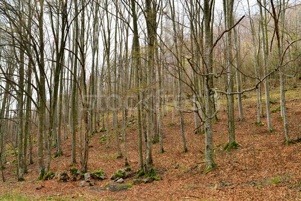 beech tree forest Stock photo © tony4urban