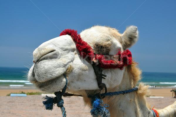 Teve arc állat fej Marokkó nyár Stock fotó © tony4urban
