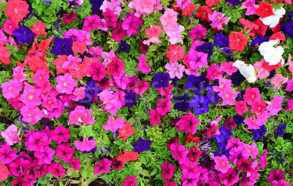 Petunia flowers texture Stock photo © tony4urban