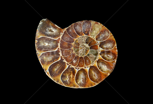 fossil snail slice Stock photo © tony4urban