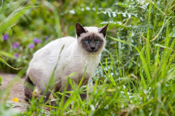 Ojos azules gato hierba verde retrato Foto stock © trexec