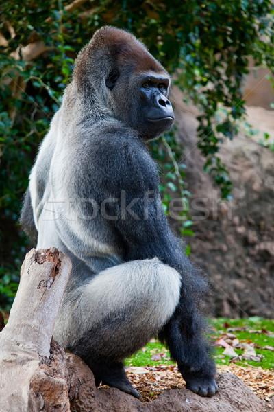 Big Gorilla Stock photo © trexec