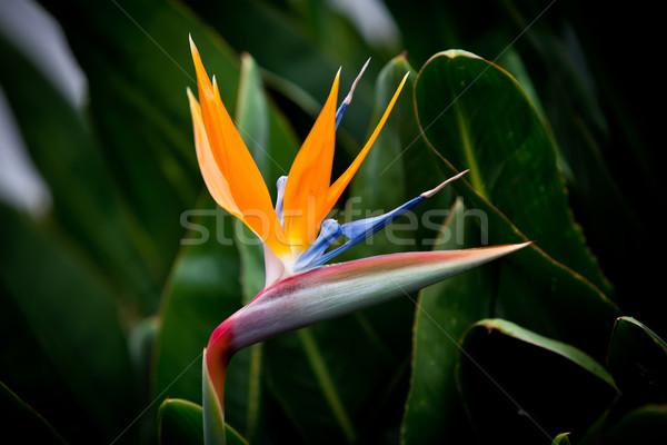 Pássaro paraíso flor verde jardim folhas Foto stock © trexec