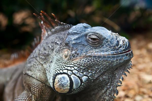 Iguana duży morskich gad spać Zdjęcia stock © trexec