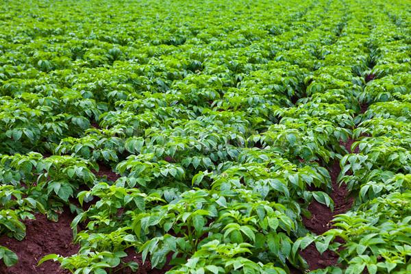 Aardappel groene plant veld voedsel Stockfoto © trexec