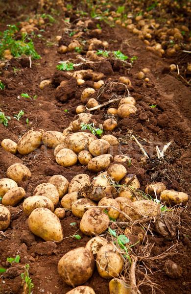 Krumpli mező friss nyers gyümölcs kert Stock fotó © trexec