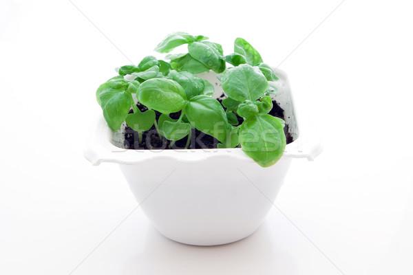 Basil sprout Stock photo © trexec