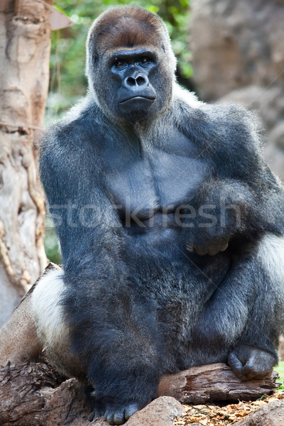 Big Gorilla Stock photo © trexec