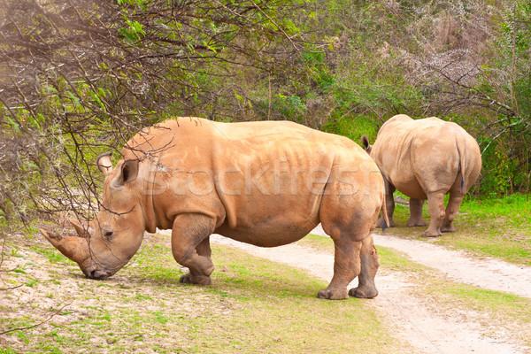 Witte neushoorn paar afrika bush safari Stockfoto © trgowanlock