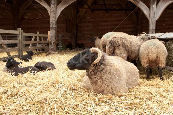 sheep Stock photo © trgowanlock