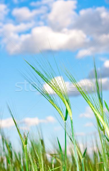 Obraz młodych jęczmień idylliczny Błękitne niebo niebo Zdjęcia stock © trgowanlock