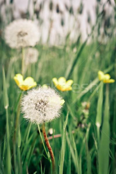 Dandelions and buttercups Stock photo © trgowanlock