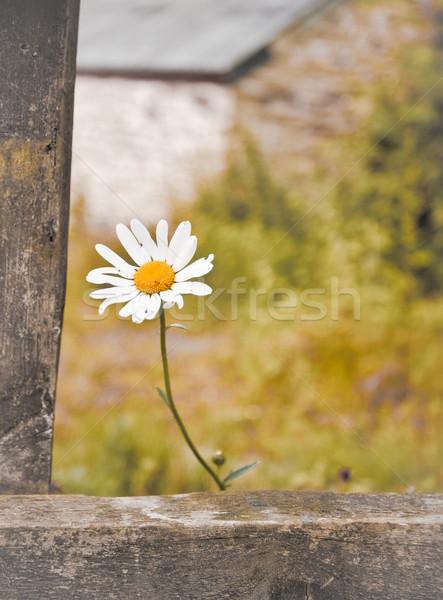 Százszorszép alacsony kontraszt kép kert tavasz Stock fotó © trgowanlock