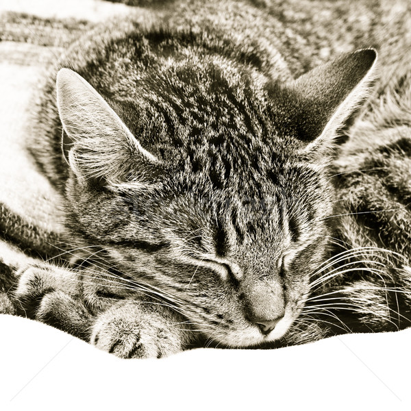 Sleeping cat Stock photo © trgowanlock