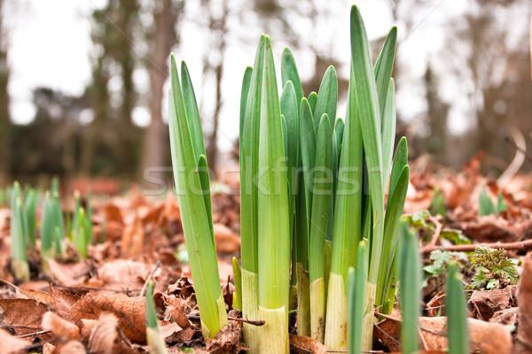 daffodil shoots Stock photo © trgowanlock