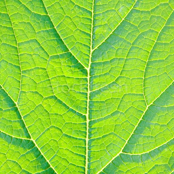 Yaprak detay güzel yeşil yaprak güneş damar Stok fotoğraf © trgowanlock