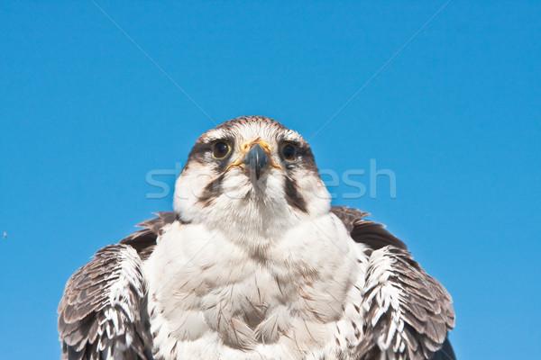 Falcon Stock photo © trgowanlock