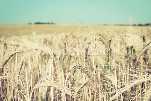 пшеницы области Vintage небе продовольствие Сток-фото © trgowanlock