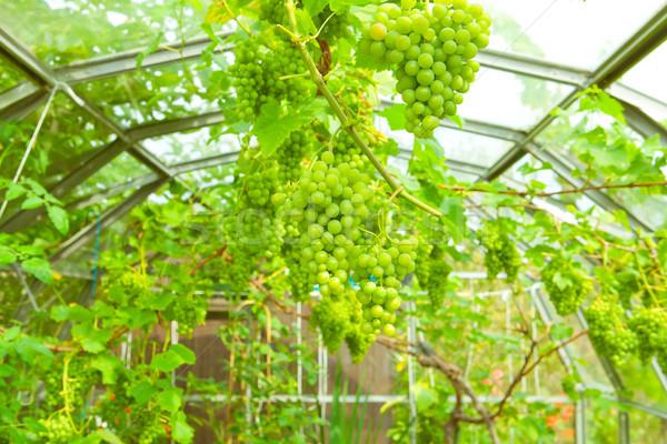 Wijnstok weelderig groene druiven groeiend textuur voedsel Stockfoto © trgowanlock