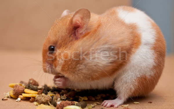 hamster Stock photo © trgowanlock