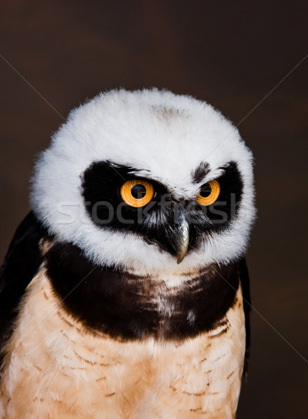 フクロウ 詳しい 画像 眼 鳥 緑 ストックフォト © trgowanlock
